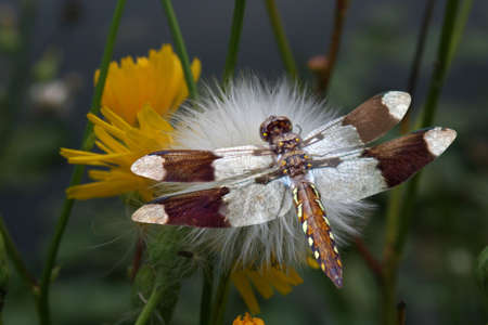 a female common whitetail drangonfly perched on a plant