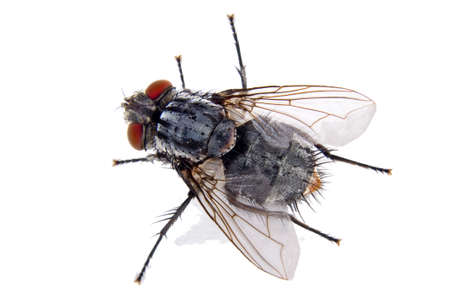 a close up of an ordinary house fly Stock Photo