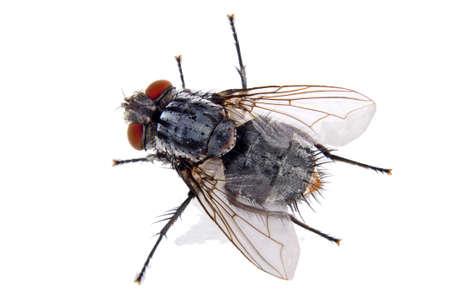 a close up of an ordinary house fly Standard-Bild