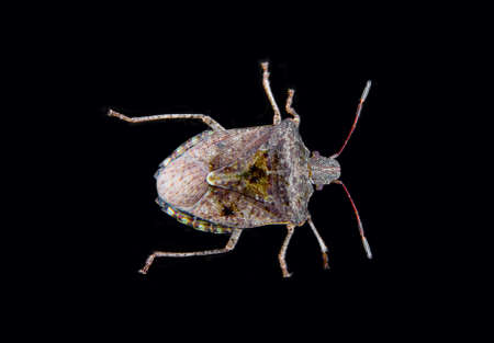a stink bug also known as a shield bug