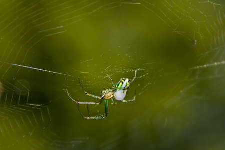 invertabrate: an orchard orbweaver spider in her web