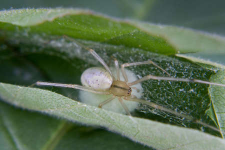 sac: a type of nursery spider protecting her egg sac in a leaf Stock Photo