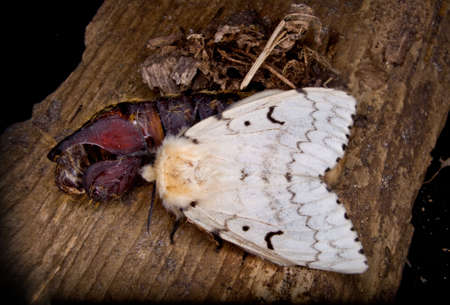 a marco of a female gypsy moth shortly after emerging from her larval case