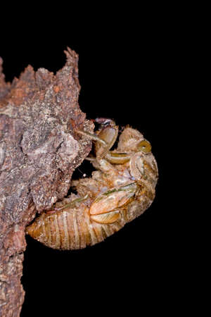 pupation: The metamorphosis of a young cicada into an adult Stock Photo