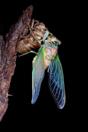 The metamorphosis of a young cicada into an adult Stock Photo