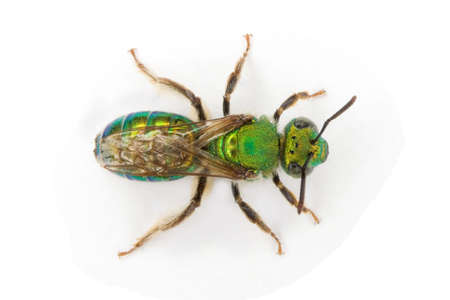 a Sweat Bee scientific name Augochlora pura