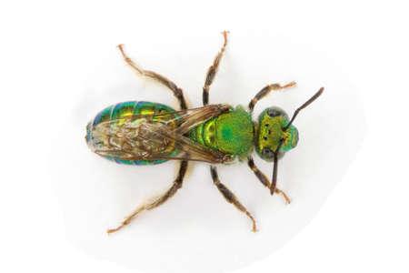 a Sweat Bee scientific name Augochlora pura