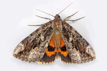 an underwing moth, Latin: Catocala ultronia