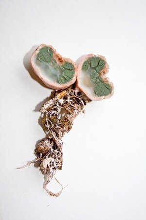 a False Truffle also Basidomycete truffle or Hydnangium carneum