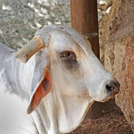 bullock animal: an Indian zebu or bull ox Stock Photo