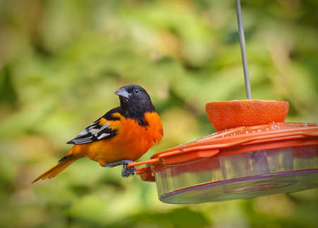 a male Baltimore oriole on nectar feeder