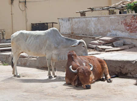 holsteine: sacred, revered cows on a street in India