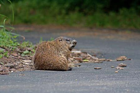 a wild woodchuck aka groundhog or marmot