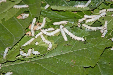 the larvae: silk worms eating mulberry leaves, China Stock Photo