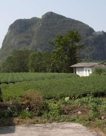 pekoe: Tea plantation, Guilin, China Editorial