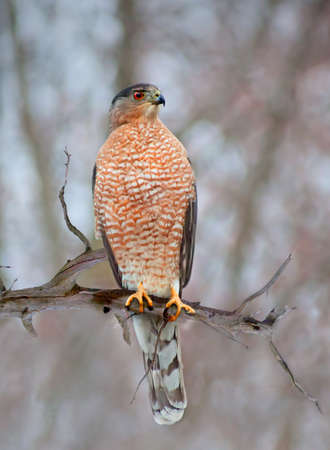 A hawk on a branch, probably a Coopers Hawk