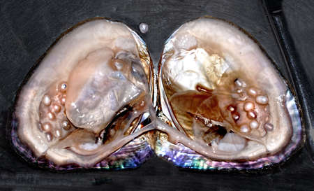 cultured pearls in situ in oyster Banco de Imagens