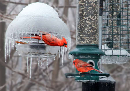 male cardinal with threatening posture to another male cardinal photo