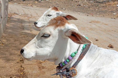 Young calves in India