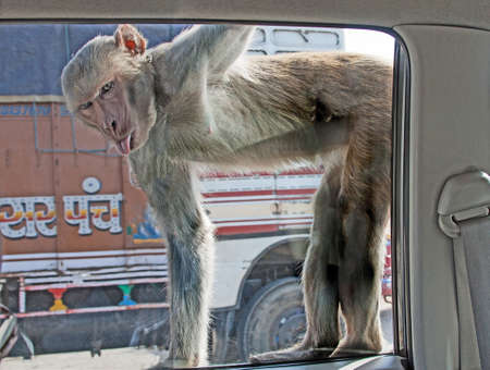 a monkey at a car window with tongue sticking out