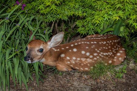 a Weißwedelkalb Versteck im Gebüsch