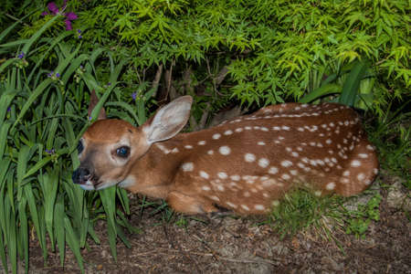 a white-tailed fawn hiding in bushes photo
