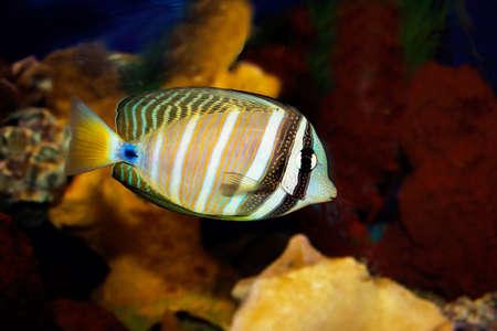 a tropical desjardini tang fish