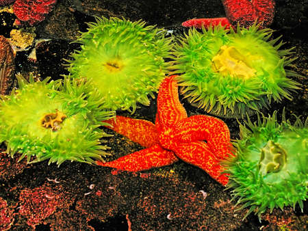 amphiprion bicinctus: Tropical sea anemones and starfish Stock Photo