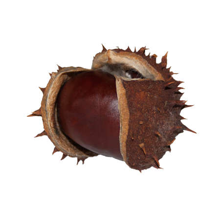 buckeye seed: Horse Chestnut isolated on white background