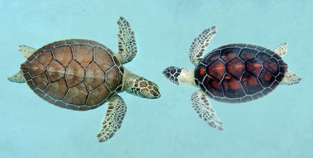 Two young sea turtles in Mexico