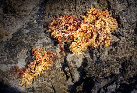 air bladder: alghe lavato sulla riva