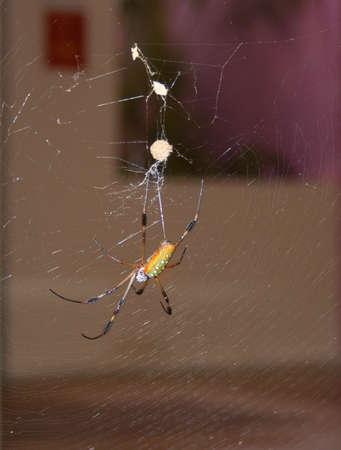 golden orb weaver: close-up of a golden silk orb weaver spider