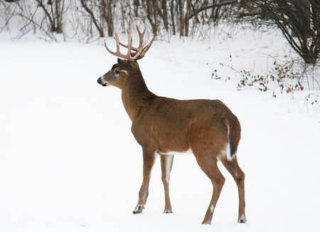 a white-tail buck in snow Stock Photo