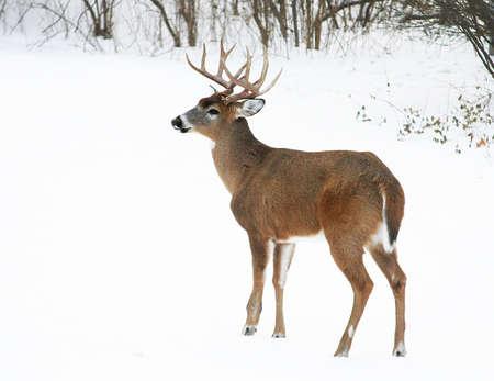 venado cola blanca: un dólar de cola blanca en la nieve