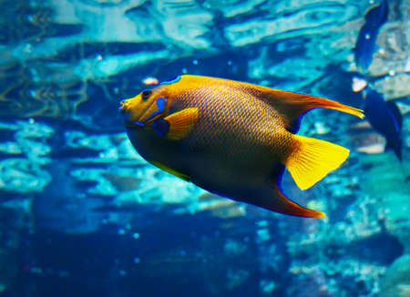 closeup of a saltwater queenangelfish Banco de Imagens