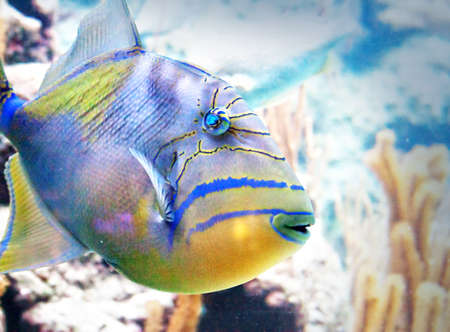 closeup of a saltwater queen triggerfish Stock Photo - 24667448