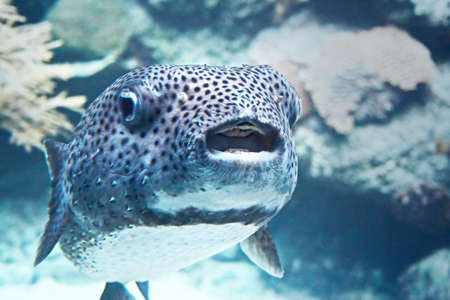 closeup of a saltwater puffer, puff fish, swellfish,, blowfish, globefish , porcupine fish Banco de Imagens