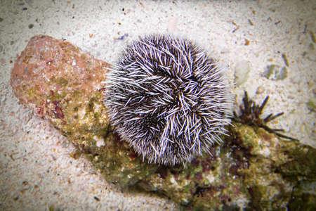 sea urchin on a rock