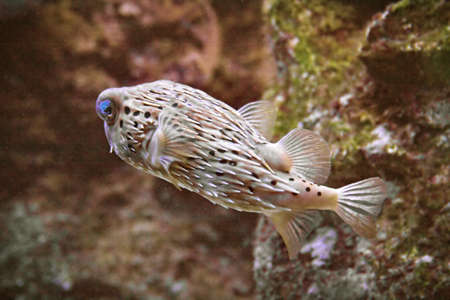 a saltwater puffer fish