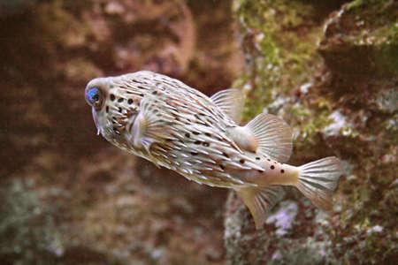 a saltwater puffer fish