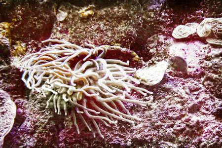 a long tentacled sea anemone 版權商用圖片
