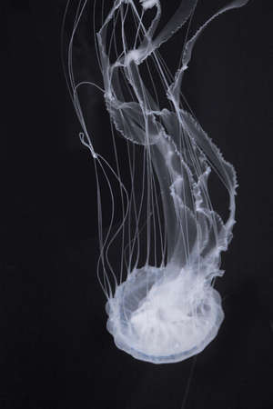 a saltwater jellyfish in Mexico