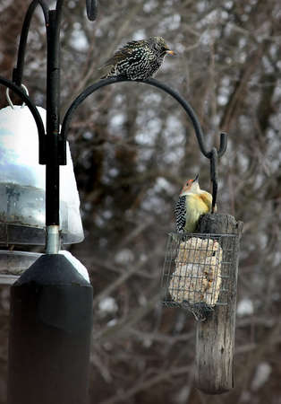a competing starling and woodpecker at a winter feeder