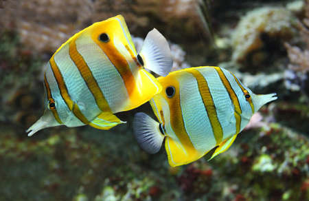 chelmon: 2 copper band butterfly fish Stock Photo