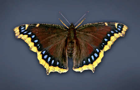 emerged: a newly emerged mourning cloak butterfly spreading its wings