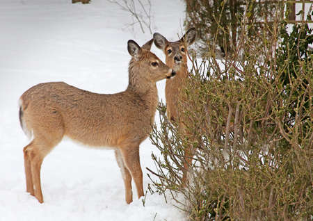 white tail deer: White tail deer with shaggy winter coat browsing on bush Stock Photo