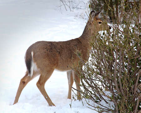 white tail deer: White tail deer with heavy  winter coat browsing on bush
