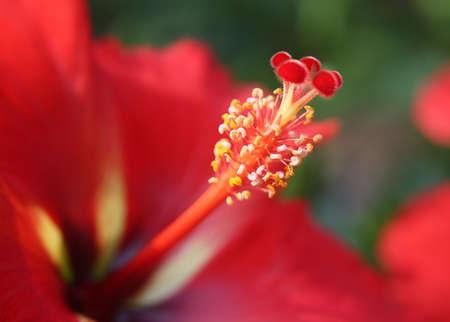 Reproductive organs of a hibiscus flower Reklamní fotografie