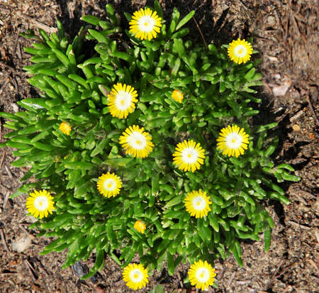 ice plant: beautiful ground cover called ice plant or carpetweed