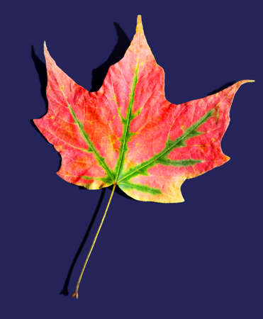 maple tree: Colorful maple tree leaves in autumn Stock Photo